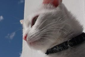 white cat with a black collar