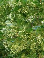 linden tree seeds