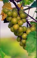 green orchard grapes