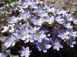 hepatica is a forest flower