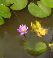 Photo of Purple water lily in a pond