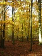 golden deciduous forest in autumn