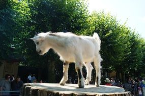 young white goat in a zoo