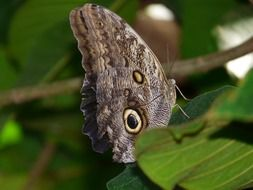owl butterfly among green leaves
