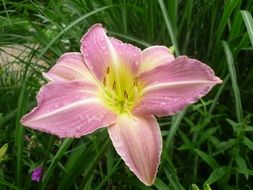 pale pink lily among green grass