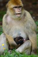 barbary ape with Baby ape