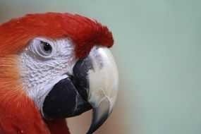 red macaw parrot head