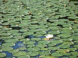 white flower and green water lily leaves in a pond