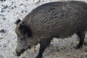 photo of wild boar in the forest
