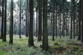 forest of coniferous trees