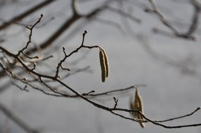 Frozen hazel inflorescence in the forest