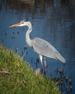 grey heron stands in water at bank