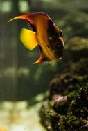 aquarium yellow fish