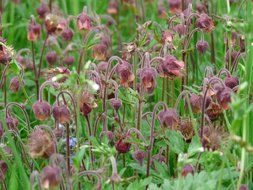 flowering purple avens