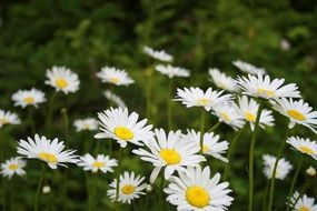 daisies in the natural park