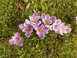 a top view on a light purple crocuses on green grass