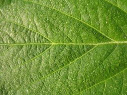 light green leaf with veins