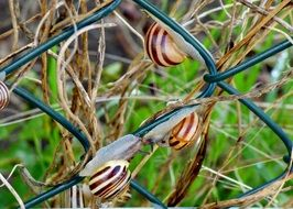 group of striped snails on a metal fence close up