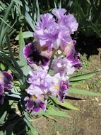 purple irises in the sunlight
