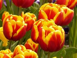 red-yellow tulips on stems close-up