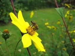 insect pollinates a bright yellow flower in summer