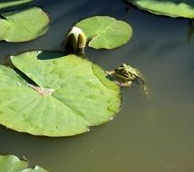 Frog near a sheet of water lilies on the pond