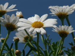 bottom view on camomile on a background of blue sky