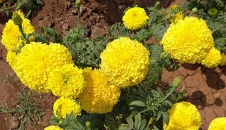 marigold with fluffy yellow flowers on soil