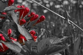 black and white photo of a red blooming flower