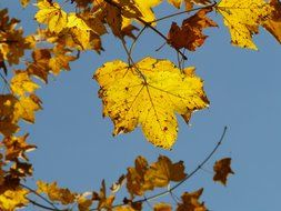 view of the sky through the autumn maple leaves