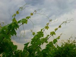 tall vine trees for wine