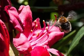 rhododendron flower and a bee
