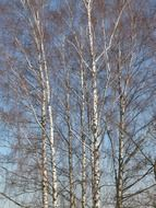 straight trees of a birch grove