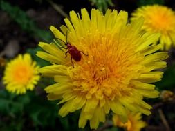 insect on the yellow dandelion