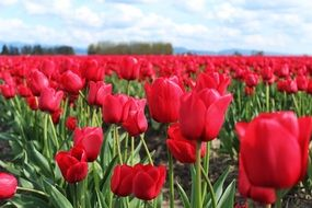 red tulips flowers field