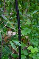 black cane bamboo stalk in green leaves