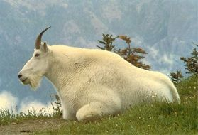 Picture of mountain goat male