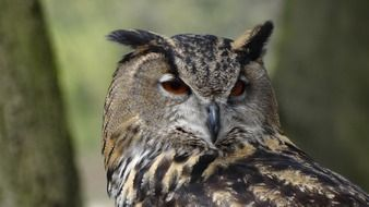 eagle owl- night bird