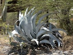 Prickly agave plant