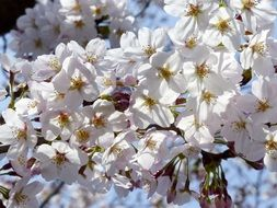 White flowers on sakura tree