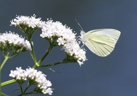 cabbage butterfly on a white flower