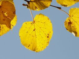 view of the sky through yellow leaves of linden