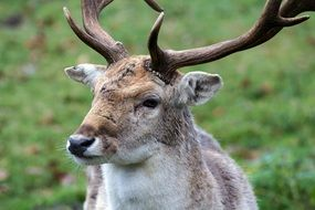 Photo of fallow deer in the forest