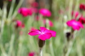 bright pink flowers on a blurred meadow