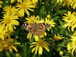 painted lady on a yellow daisy