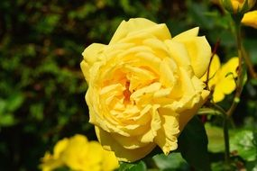 yellow rose in a greenhouse