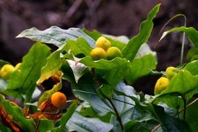 yellow berries of a wild plant close up