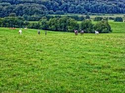 horsies on green meadow at forest, scenic landscape, france, ardennes