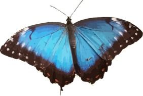 butterfly insect with blue wings