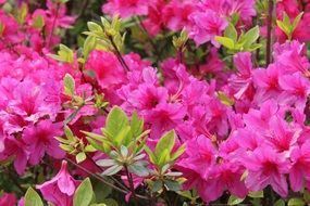 azalea as pink thickets
